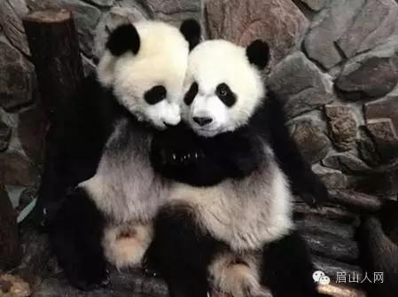 """""""中国国宝""""大熊猫将在眉山驯养"""