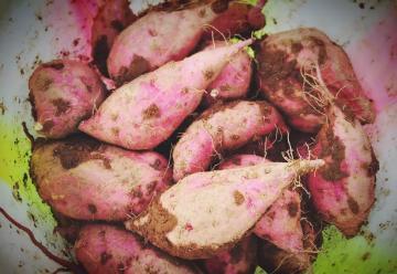 瓦屋山高山紫薯