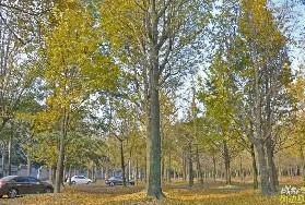 眉山不远有个千亩银杏林,免费观赏只剩最后一周!