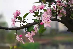 仁寿湿地公园最美樱花盛开了,惊艳了无数网友眼球!