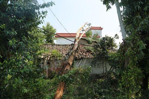 倒下的大树砸坏民房和砸断输电线路.