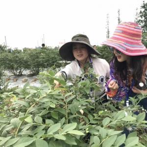 眉山悦兴的蓝莓熟了,一起去采摘吧!