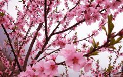"""[凉山]2019西昌川兴镇桃花节开幕 """"与花结缘""""将持续至3月底"""