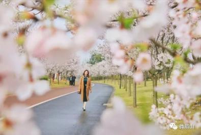 三月春光好 赏樱正当时 第三届眉山樱花节今天盛大开幕
