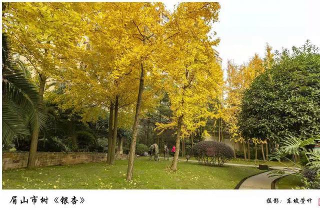 眉山市树《银杏》摄影:东坡箜竹【摄影师每日一图赞眉山】